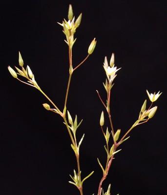 צללית הכלאיים Minuartia hybrida (Vill.) Schischk.