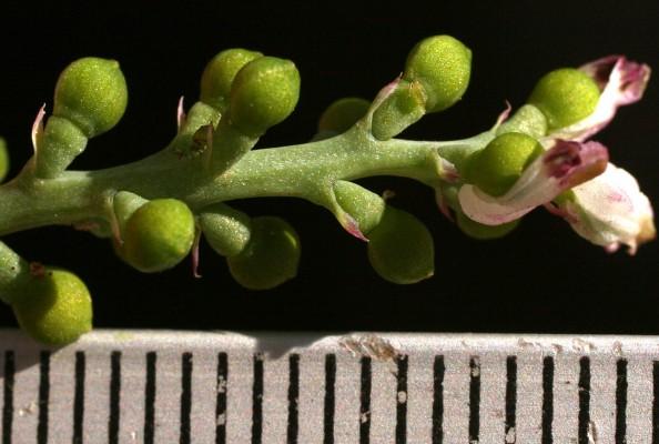עשנן קטן Fumaria parviflora Lam.