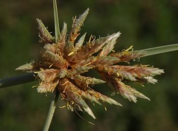 השיבוליות בנות 16-8 פרחים.