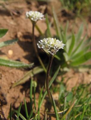 Teesdalia coronopifolia (J.P.Bergeret) Thell.