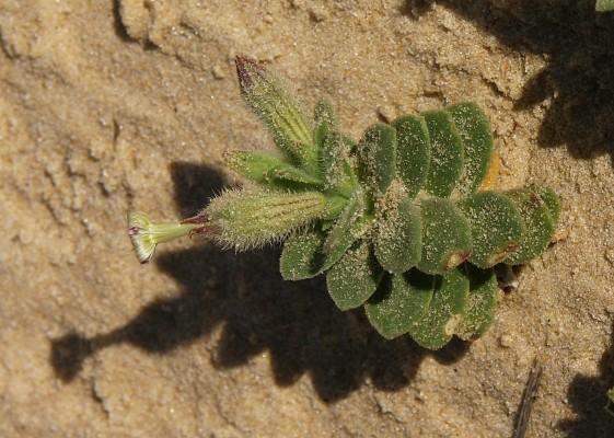 ציפורנית בשרנית Silene succulenta Forssk.
