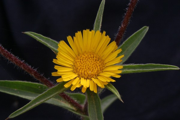 מוצית קוצנית Pallenis spinosa (L.) Cass.