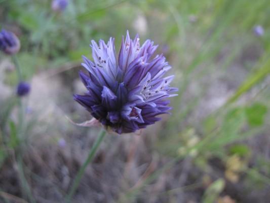 שום יריחו Allium hierochuntinum Boiss.