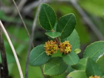 שיחים או עצים קטנים ירוקי-עד. העלים נגדיים, שפתם משוננת כמסור צבעם ירוק משני הצדדים.
