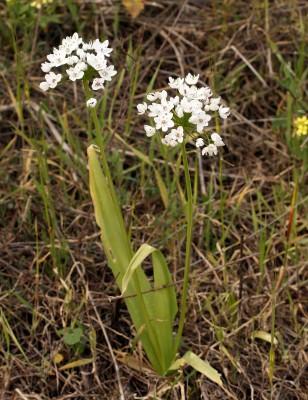 שום משולש Allium neapolitanum Cirillo