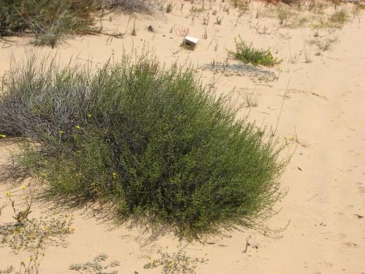 לוענית החולות Scrophularia hypericifolia Wydler