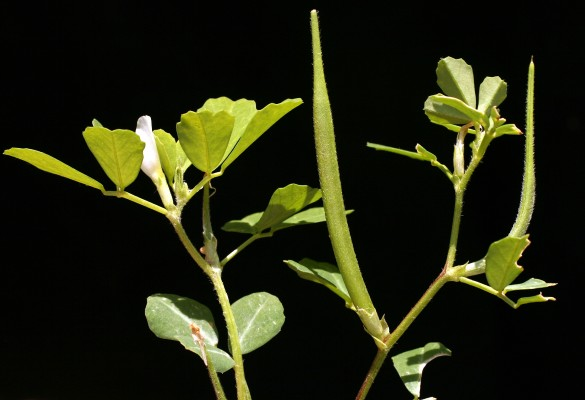 גרגרנית בירותית Trigonella berythea Boiss. & Blanche