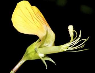 אורך עמוד-העלי בפרח ובפרי הבשל 10 מ