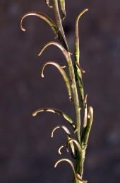 הפירות כפופים בראשם כאנקול או כקשת, זקופים, מפושקים או משתלשלים. צמחי קרקעות חוליות במדבר.