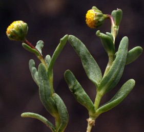 עשב חד-שנתי של בתי-גדול מלוחים. העלים בשרניים, תמימים או משוננים בראשם. בקרקפת פרחים צינוריים בלבד.