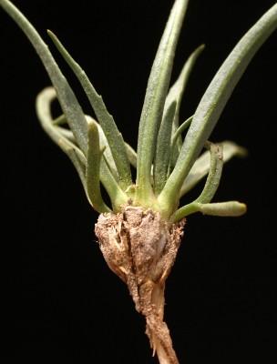 Gymnarrhena micrantha Desf.