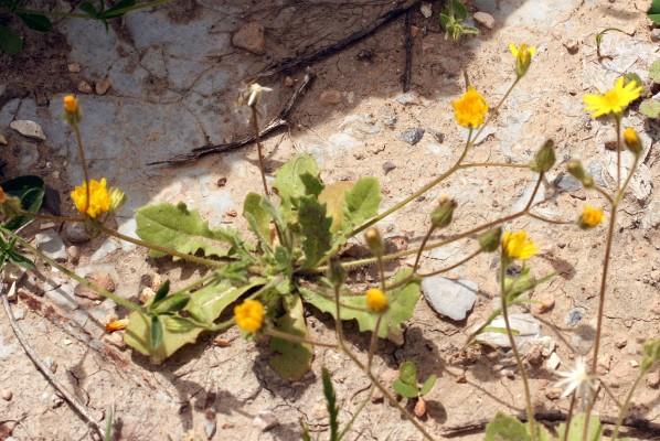 ניסנית דו-קרנית Crepis sancta (L.) Bornm.