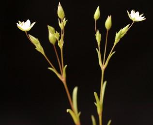עוקצי-הפרחים ארוכים מהגביעים פי 5-2 או יותר.