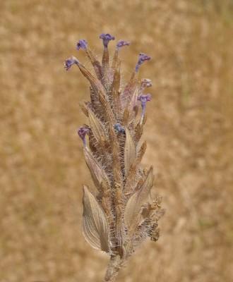 Ziziphora tenuior L.