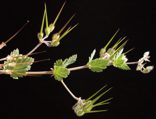 מקור-חסידה חלמיתי Erodium malacoides (L.) L'Her.