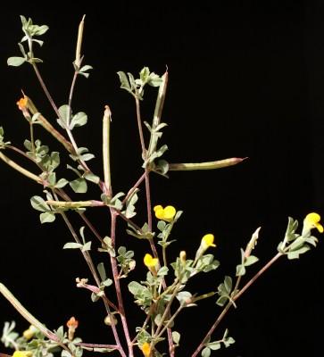 Lotus peregrinus L.