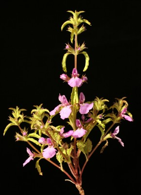 Stachys neurocalycina Boiss.