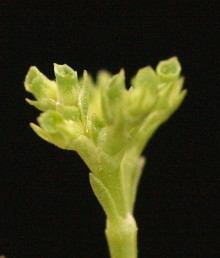 אוגן הגביע בפרי דמוי אוזן, בלתי מחולק, תמים או משונשן, בעל רשת עורקים.