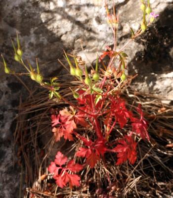 גרניון הארגמן Geranium robertianum L.