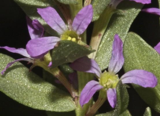 Lythrum hyssopifolium L.