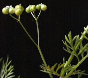 הפרודות כדוריות או כמעט כדוריות מקומטות אך הצלעות לא ניכרות בהם. צמחים בעלי ריח חריף של כוסברה.
