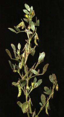 שברק משונץ Ononis ornithopodioides L.