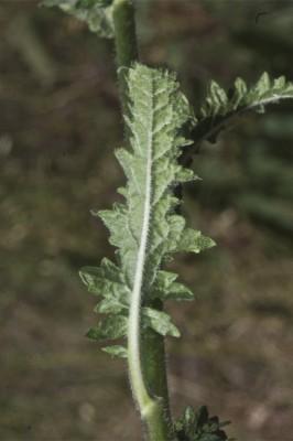 בוצין בירותי Verbascum berytheum Boiss.