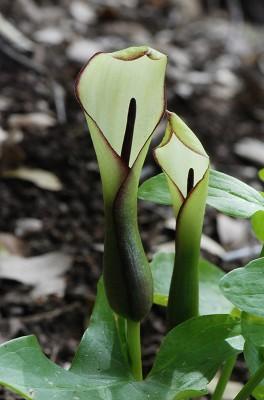Arum hygrophilum Boiss.