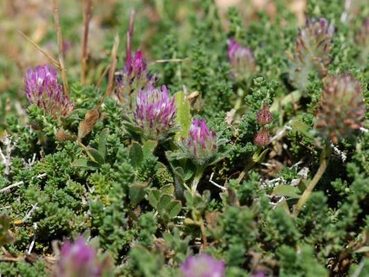 תלתן בלאנש Trifolium blancheanum Boiss.