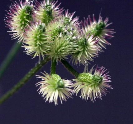 גזיר מזיק Torilis arvensis (Huds.) Link