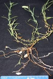 הצמח בעל שני טיפוסי פירות: על-אדמתיים ותת-אדמתיים.