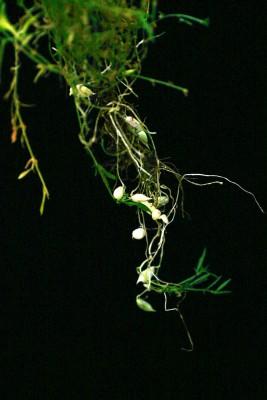 Lathyrus ciliolatus Rech.f.