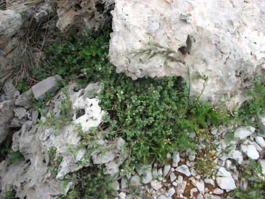 ורוניקה אפרפרה Veronica polifolia Benth.