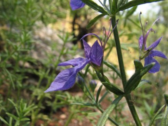 העלים מבריקים. שיני-הגביע שוות לצינור או קצרות במקצת מהצינור.