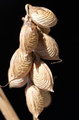 דבשה סיצילית Melilotus siculus (Turra) D.Jacks.