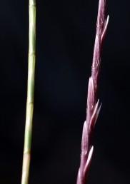השיבולים דקות וחסרות מלענים. המאבקים בולטים בין המוצים בזמן הפריחה.