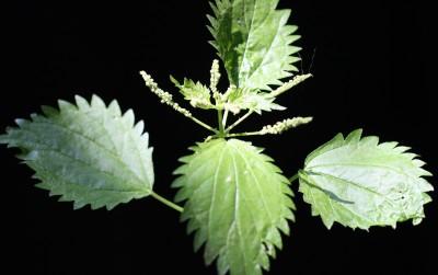 התפרחת ארוכה מפטוטרת העלה שמחיקו יצאה ובה פרחי זכר ופרחי נקבה. שיני העלה שוות פחות או יותר.