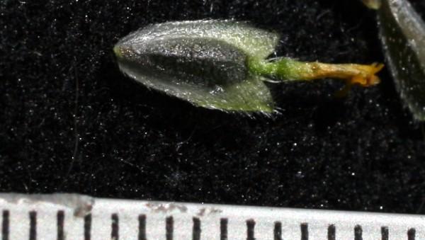 כנפון זהוב Verbesina encelioides (Cav.) A.Gray