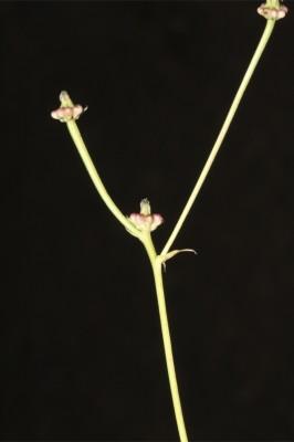 Crepis zacintha (L.) Babc.