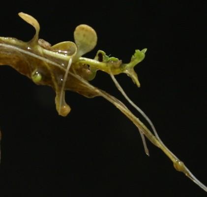 טובענית הפלגים Callitriche stagnalis Scop.