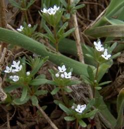 צבע הכותרת לבן או כחלחל, עלי המעטפת קצרים במקצת מהפרחים.