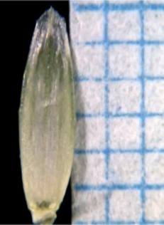 Lolium multiflorum Lam.