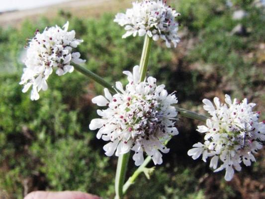 יינית כמנונית Oenanthe pimpinelloides L.