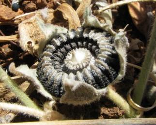 גבה של פרודת הפרי בעל שקע רדוד.