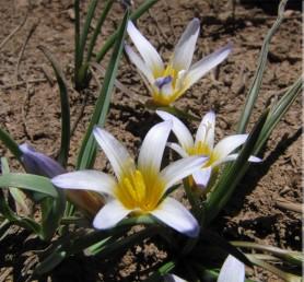 צמחי החרמון, פורחים בעקבות המסת השלג. חלקם התחתון של עלי-העטיף צהוב-כתום, העליון סגול ובעל עורקים כהים.