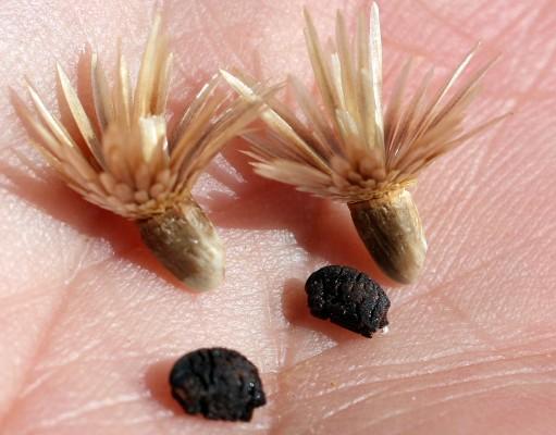 Carthamus glaucus M.Bieb.