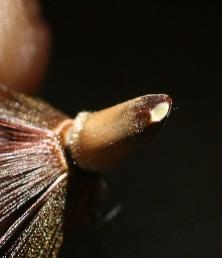 בבסיס הזירעון יש צלקת דמויית ביצה. צמח של תלי געש בגולן.