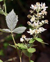 צמחי חורש של צפון הארץ. הכותרת לבנה. הצד התחתון של העלה צמיר בצפיפות לבן, העליון ירוק - מקריח. עוקצי הפרחים מכוסים בהרבה קוצים ישרים ועדינים.