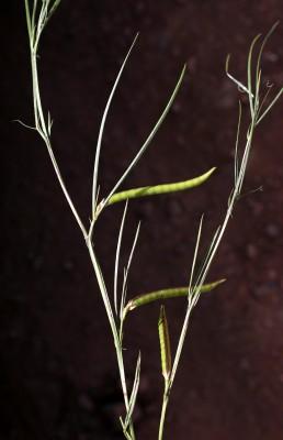 טופח זקוף Lathyrus inconspicuus L.