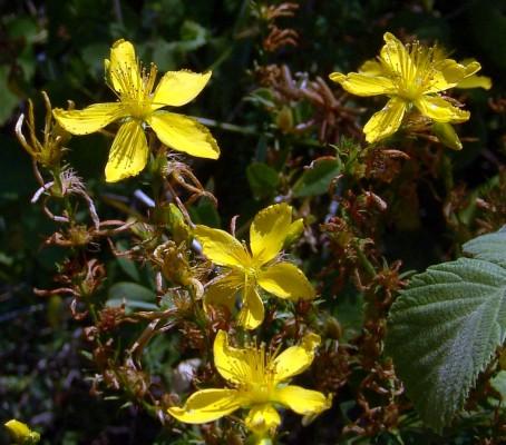פרע אזובי Hypericum amblysepalum Hochst.